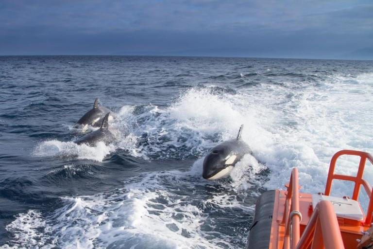 Un grupo de orcas en el entorno de una embarcación.