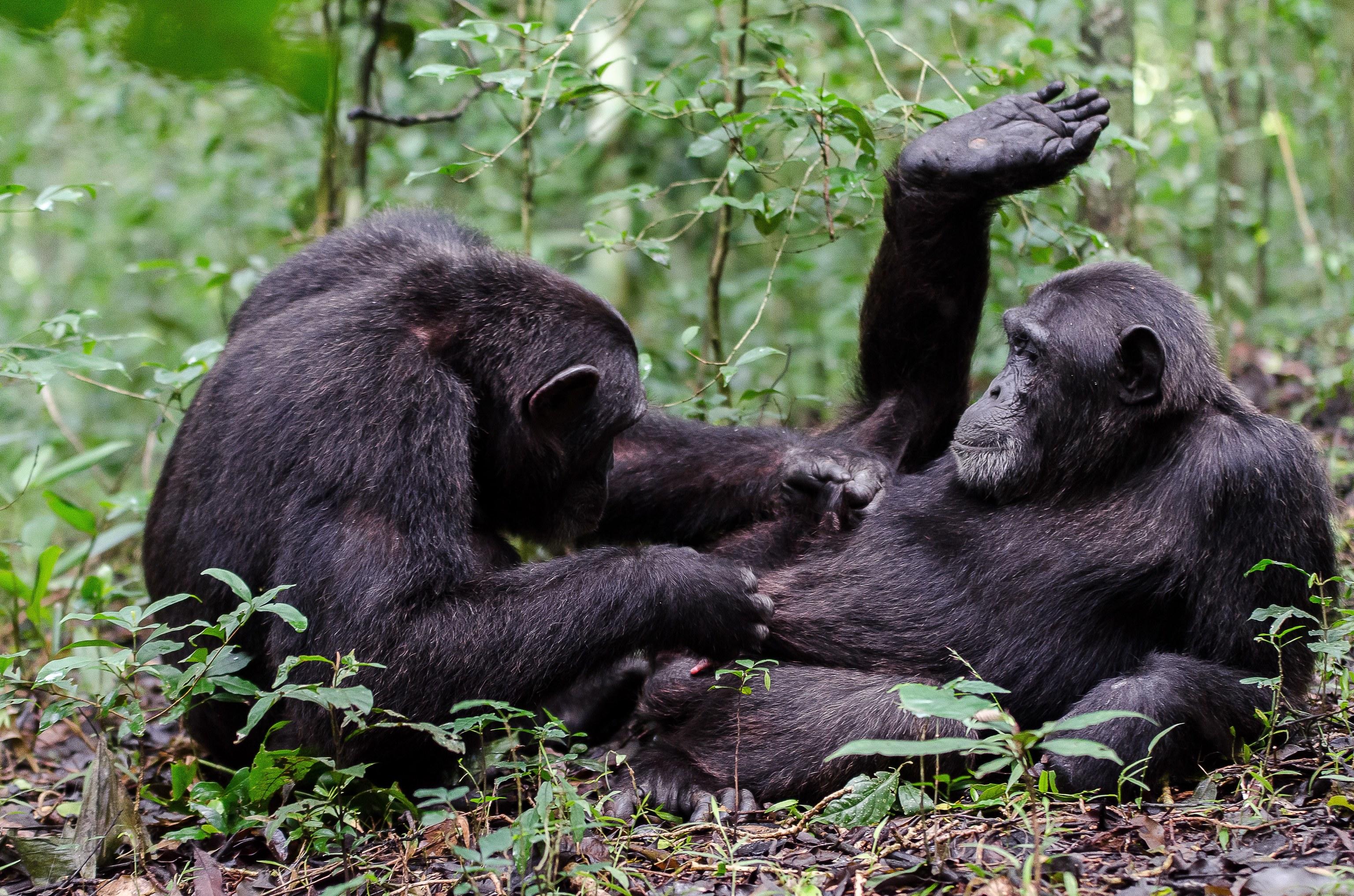 Dos chimpancés acicalándose (grooming)