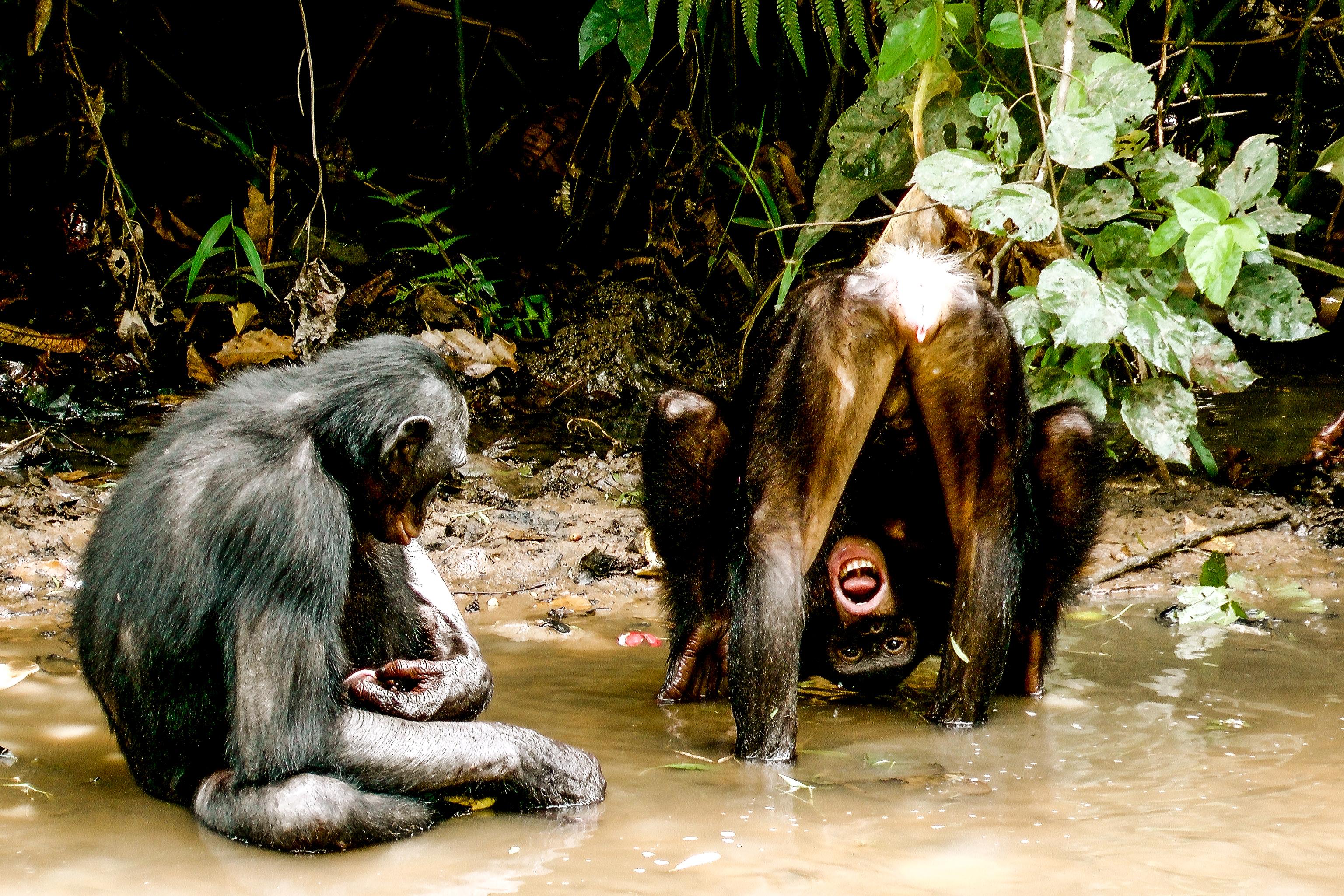 Un encuentro entre dos bonobos