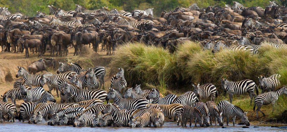 Cebras cruzando el río Mara.