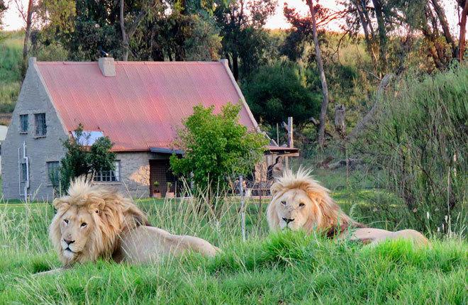 Los leones son los protagonistas de la reserva.