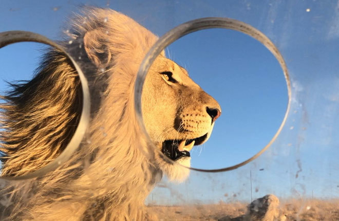 Un león fotografiado desde el interior de la jaula.