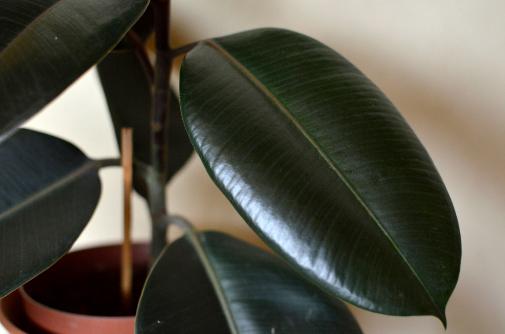 El ficus robusta encaja mejor en espacios amplios, ya que llega a adquirir un gran tamaño.