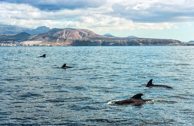 Avistamiento de cetáceos en las aguas de Tenerife.