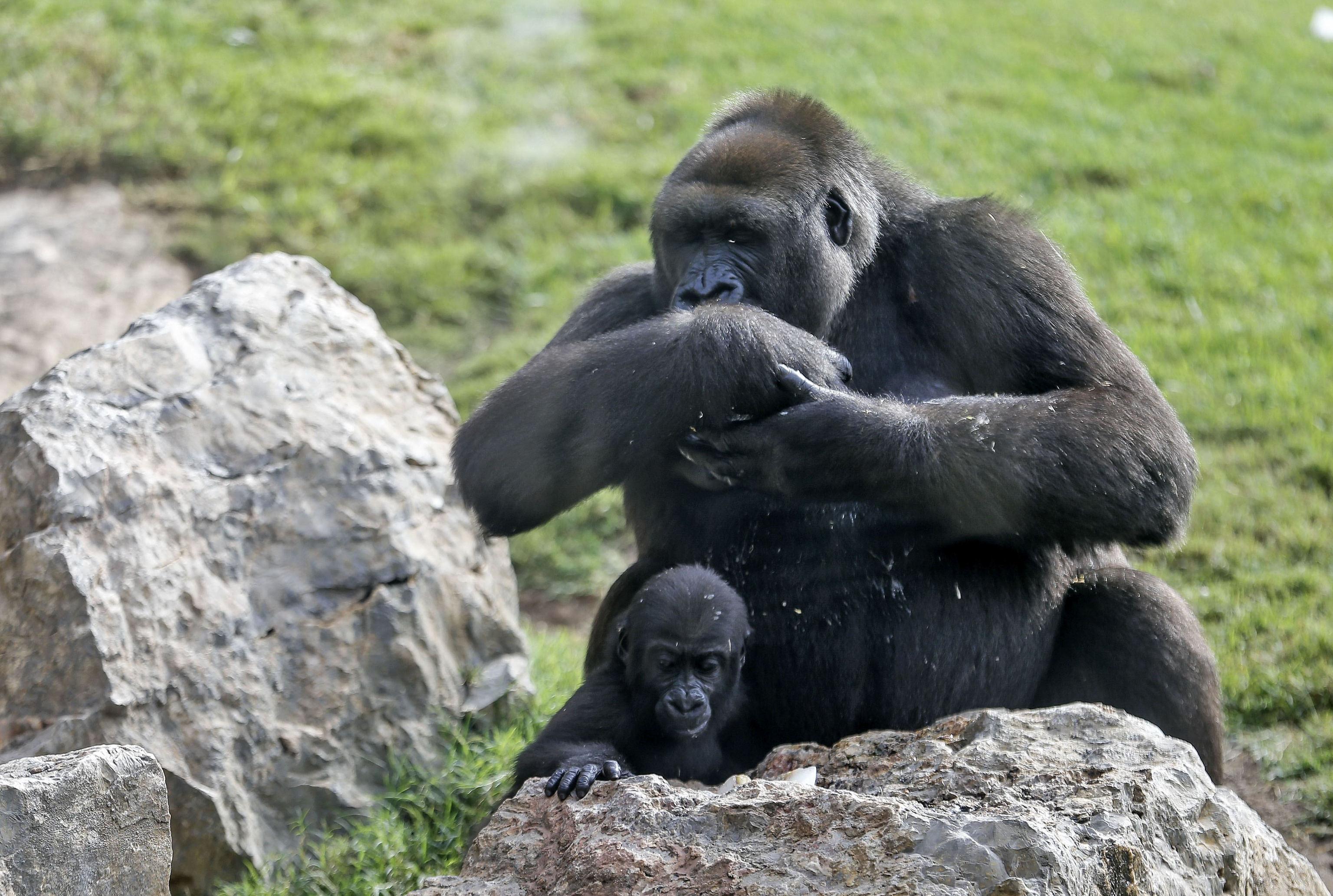 La bebé gorila Virunga juega junto a su madre Nalani durante la fiesta de cumpleaños que le ha preparado el equipo técnico del Bioparc de Valéncia por su primer año de vida.