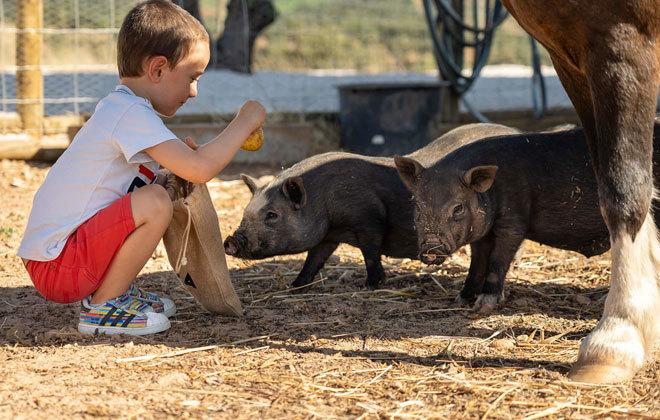 Un niño juega con los cerdos vietnamitas de la granja.