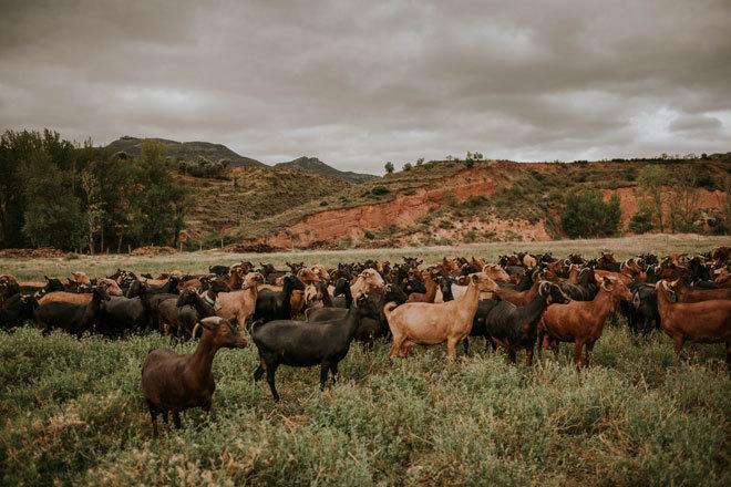 Las cabras que producen el queso Camerano.