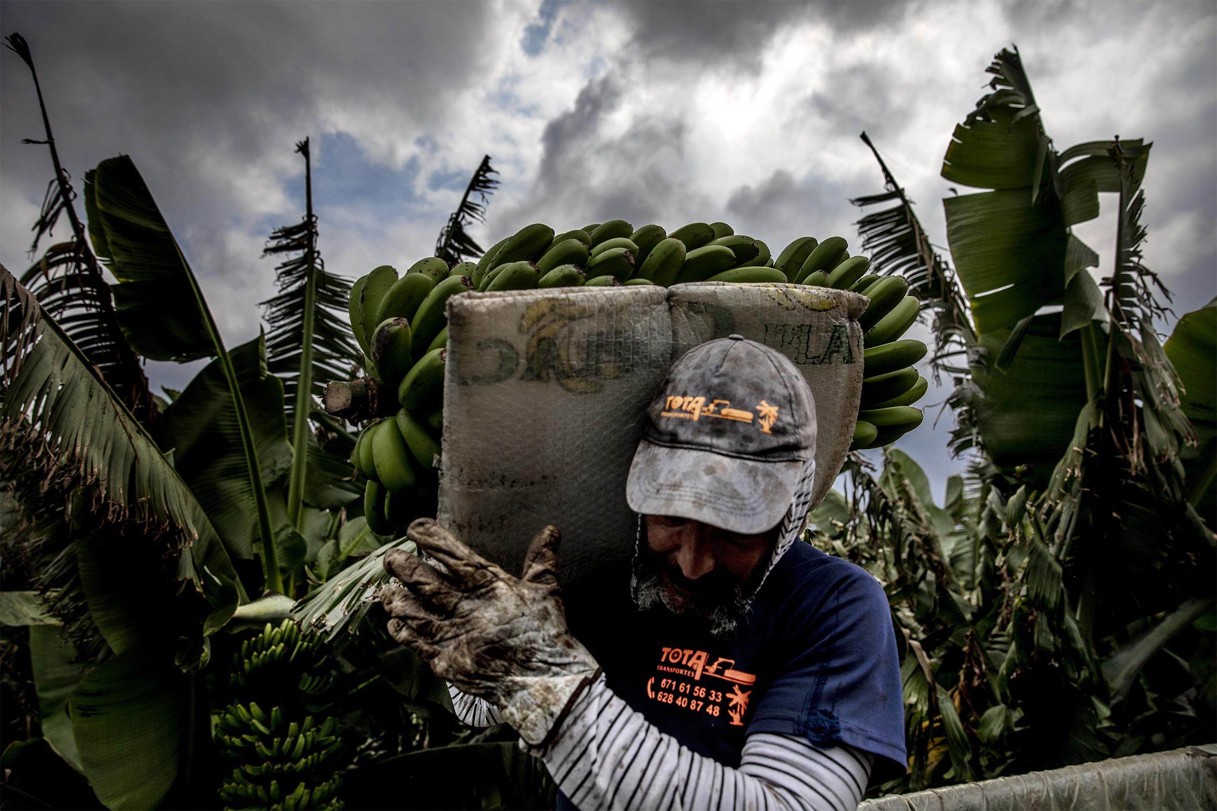 """24 horas para salvar el 'oro' de La Palma: """"La isla vive del plátano, estamos bien jodidos"""""""