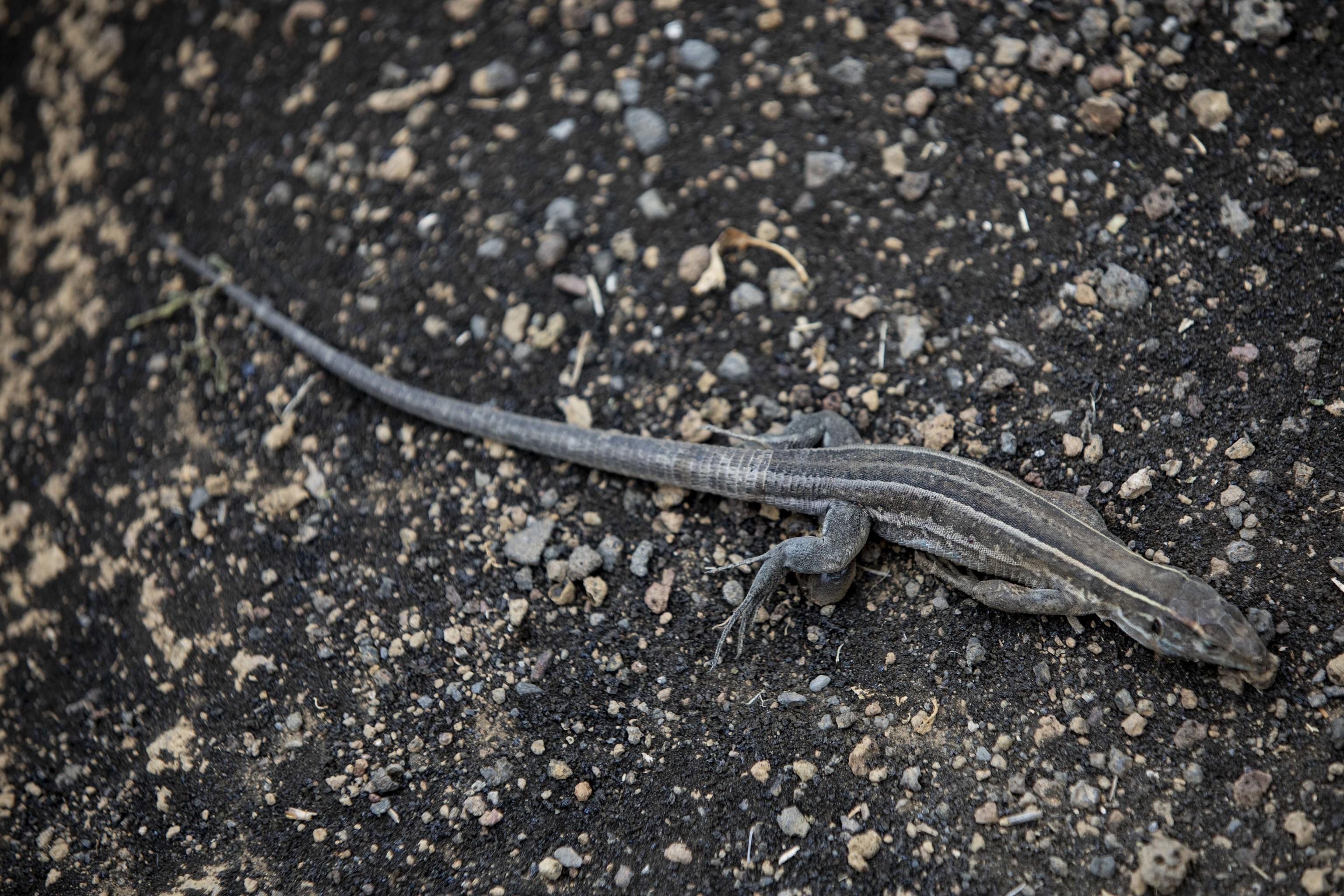 Un lagarto tizón ('Gallotia galloti') hallado muerto en Tazacorte