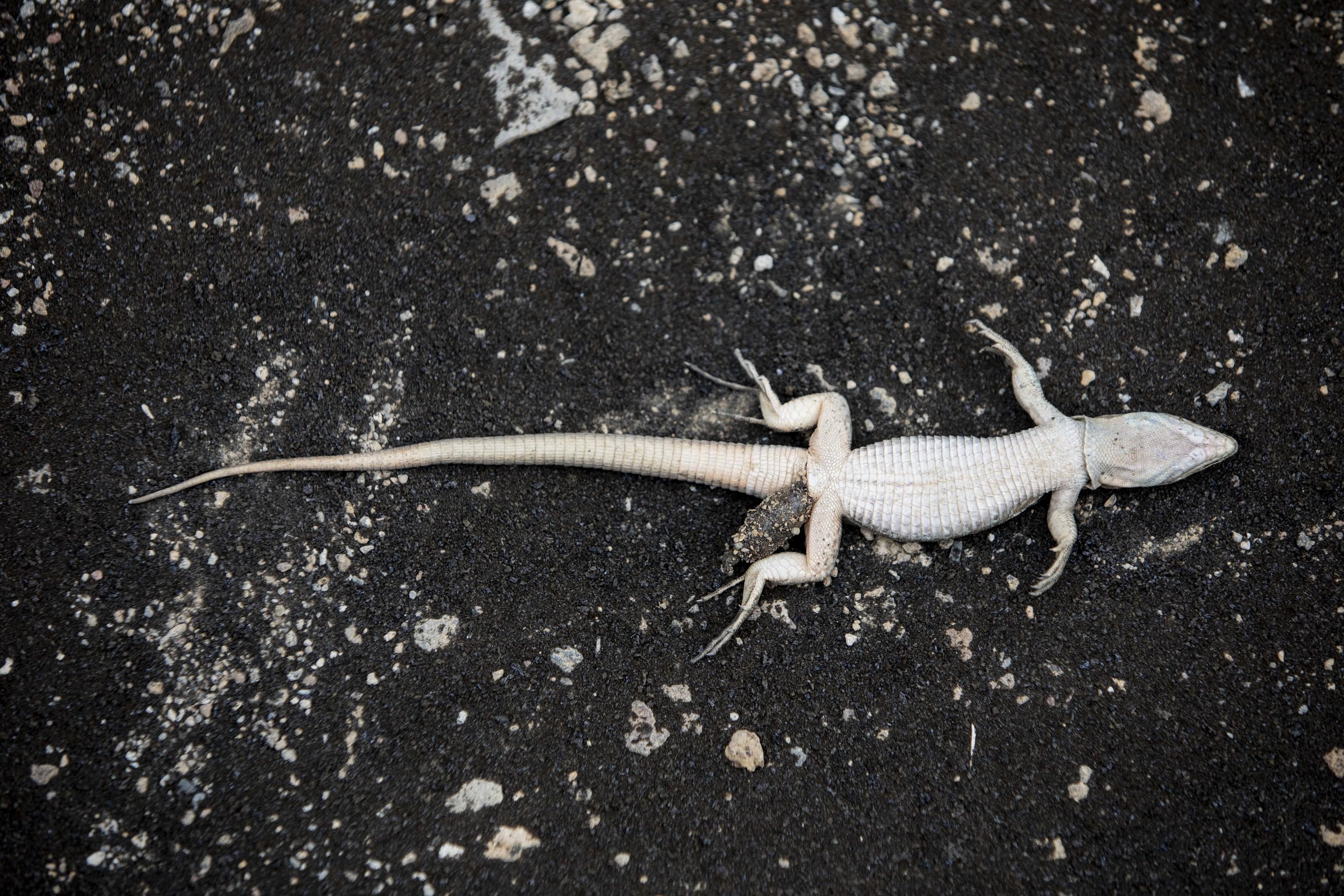 Un reptil hallado muerto en Tazacorte