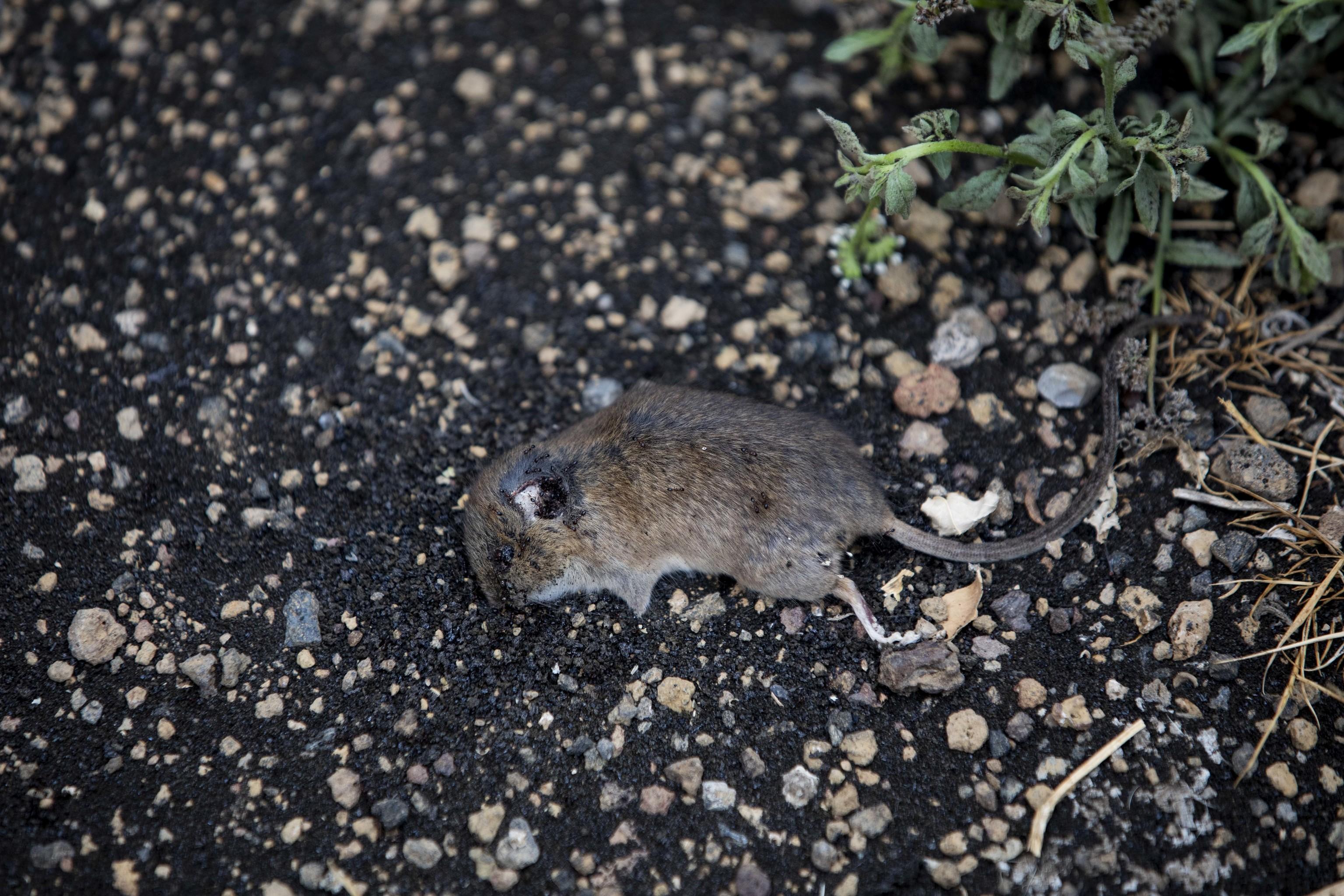 Un roedor muerto tras la erupción