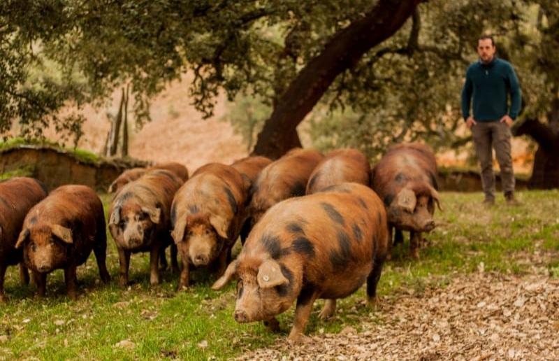 Ejemplares de cerdo manchado que viven en libertad desde el nacimiento.