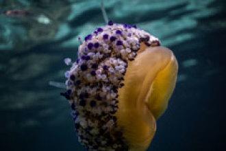 ¿Por qué cada vez hay más plagas de medusas?