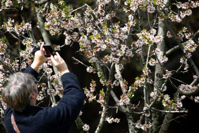 Una mujer fotografía los almendros en flor en el parque de la Quinta de los Molinos de Madrid.