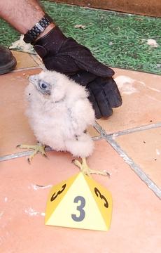pollo de halcón