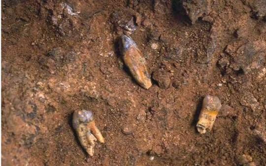 dents d'Homo antecessor
