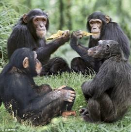 Un grupo de chimpancés compartiendo comida. | El Mundo