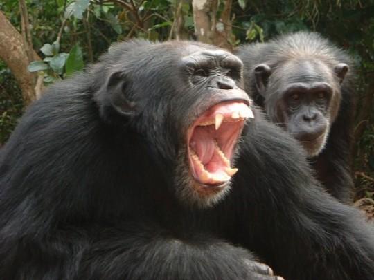 Por Qué Puede Atacarnos Un Chimpancé Yo Mono Blogs Elmundoes