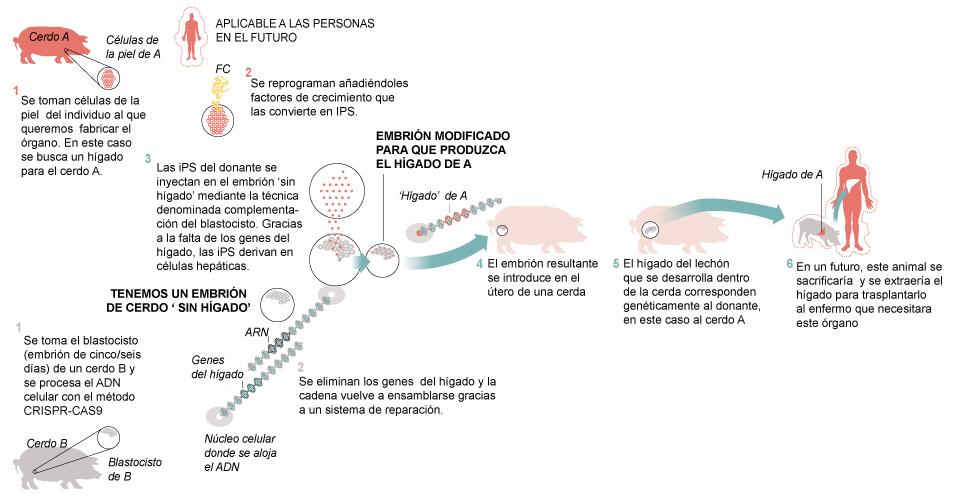 gráfico Órganos humanos en cerdos