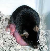 El ratón Kaguya, hijo de dos hembras. (REUTERS)