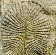 La huella de un organismo del Ediacárico, encontrada en Australia.