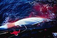 Imagen de archivo de la caza de ballenas. (D.Aguilar)