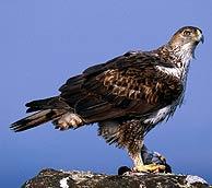 Un ejemplar de águila perdicera. (Foto: Carlos Sánchez)