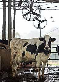 Una de las vacas, bajo los enormes ventiladores. (Foto: EFE)