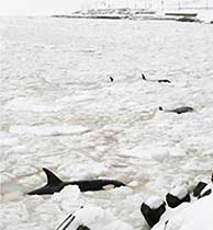 Las ballenas llevan semanas atrapadas en el hielo. (Foto: Japan Today)