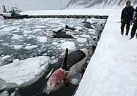 Algunas de las orcas muertas en Japón. (Foto: EFE)