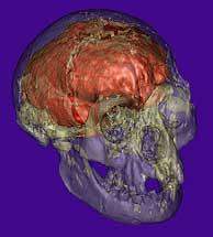 Reconstrucción virtual del cráneo del Homo Floresiensis. (Foto: Science)