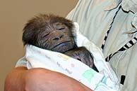 La cría de gorila, en brazos de una cuidadora. (Foto: AP)