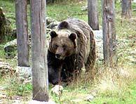 Una hembra de oso pardo. (Foto: EFE)