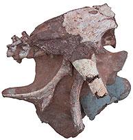 Restos de la cavidad pelviana de la dinosaurio. (Foto: AP)