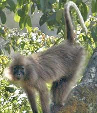 Imagen de uno de los 'nuevos' primates. (Foto: Tim Davenport/WCS)