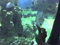 Susana fue capaz de engañar a un pez ballesta para que siguiera los movimientos de su mano.