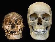 El cráneo de un 'hombre diminuto' de Flores, comparado con el de un hombre actual. (Foto: Nature)