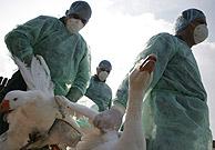 Empleados de la Sanidad rumana trasladan varias ocas para sacrificarlas. (Foto: AFP)