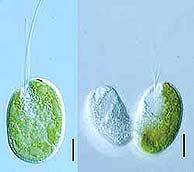 El organismo antes y después de su división. (Foto: Science)