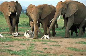 Elefantes 'tocando' restos de sus seres queridos. (Foto: Karen McComb/Royal Society)