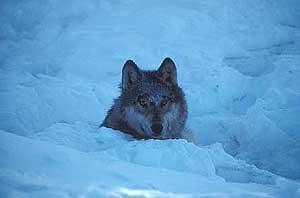 ´Los lobos grises son unos de los animales de la zona en peligro de extinción. (Foto: Alaska Image Library)