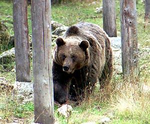 Imagen de un oso pardo. (Foto: EFE)
