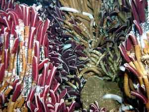 Extraños gusanos habitan a grandes profundidades sin necesidad de recibir la luz del sol. (Foto: Ifremer)