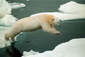 Un oso polar salta entre varios témpanos de hielo. (Foto: Greenpeace)