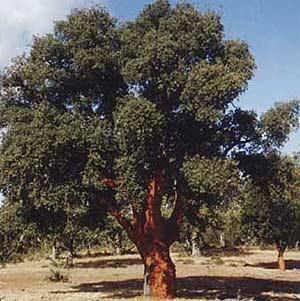 Los científicos ya están experimentando con árboles como los alcornoques.