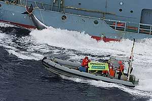 La lancha de Greenpeace frente a una ballena izada por el buque-factoría. (Foto: Greenpeace)