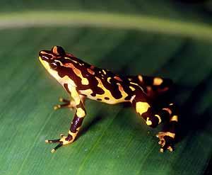 Una rana arlequín de Costa Rica, que están en grave peligro de extinción. (Foto: Nature)