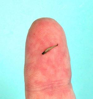 Imagen del vertebrado más pequeño del mundo. (Foto: AFP)