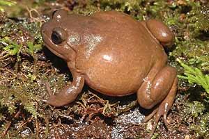 Una de las 20 ranas nuevas encontradas. (Foto: AP)