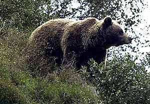 Un oso que vive en semilibertad en el Principado de Asturias. (Foto: EFE)